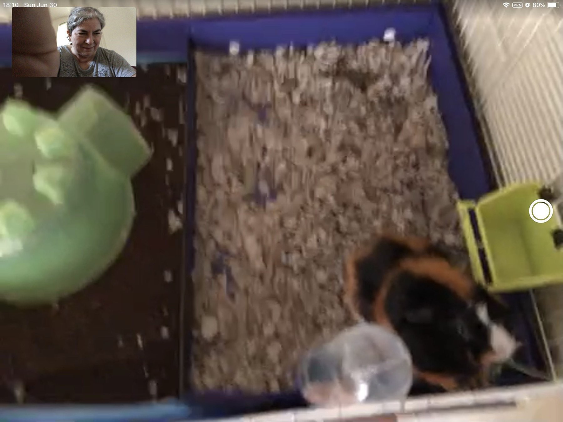 FaceTime screenshot with Ada the guinea pig