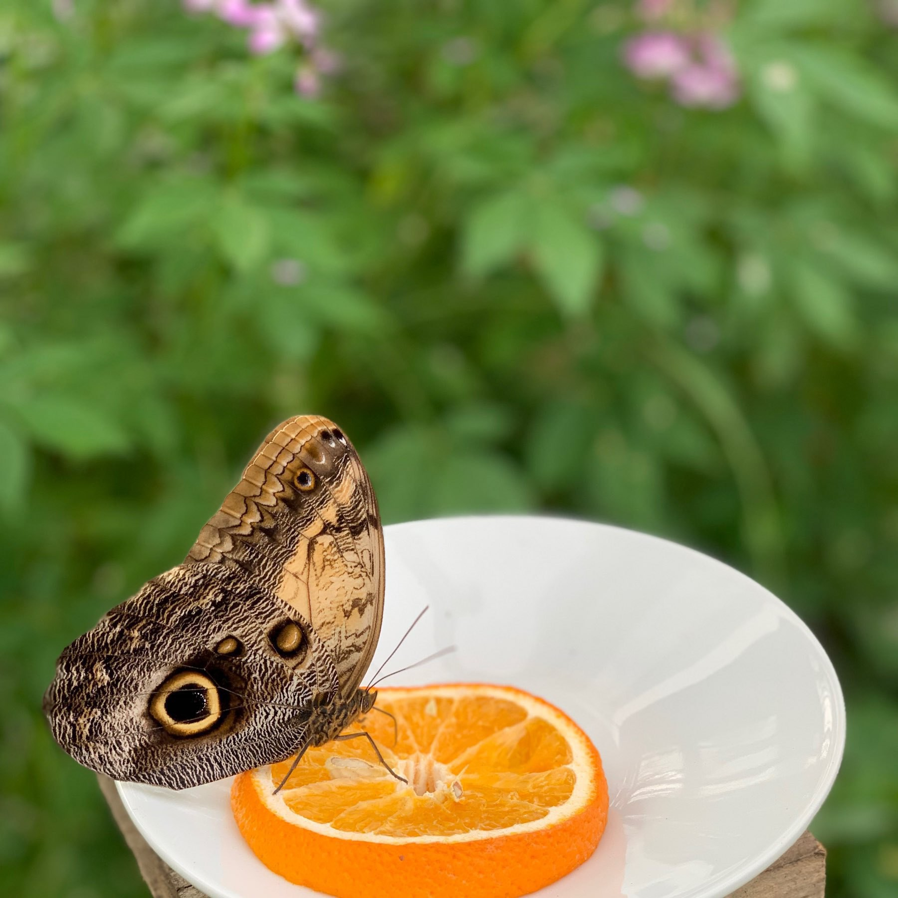butterfly on an orange slice
