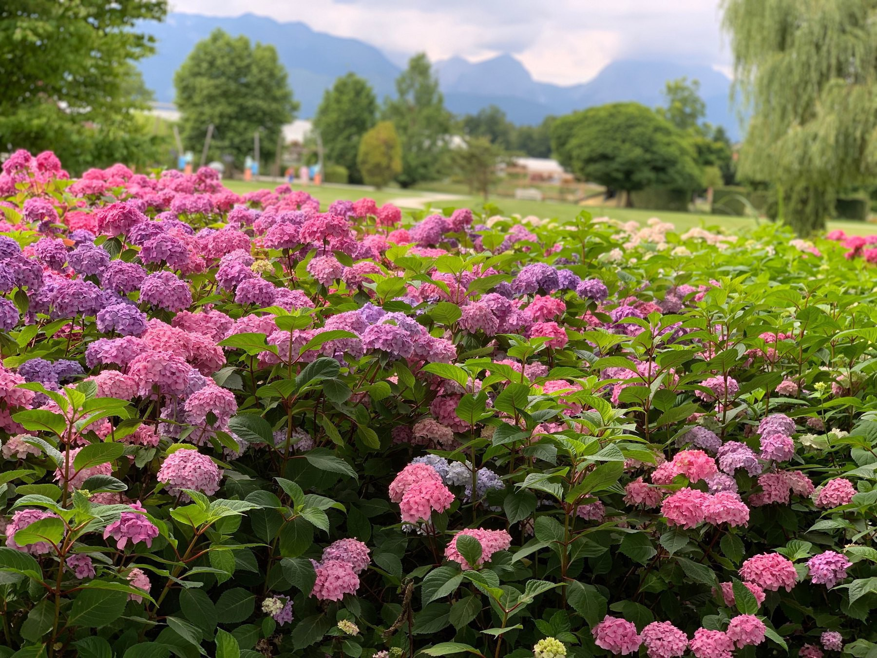 hydrangeas, alps in the distance