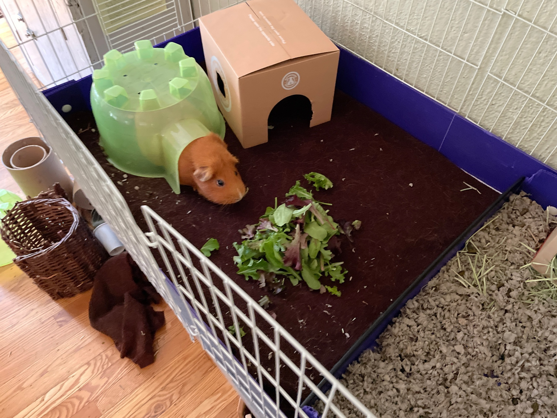 guinea pig in a pigloo with a huge pile of lettuce
