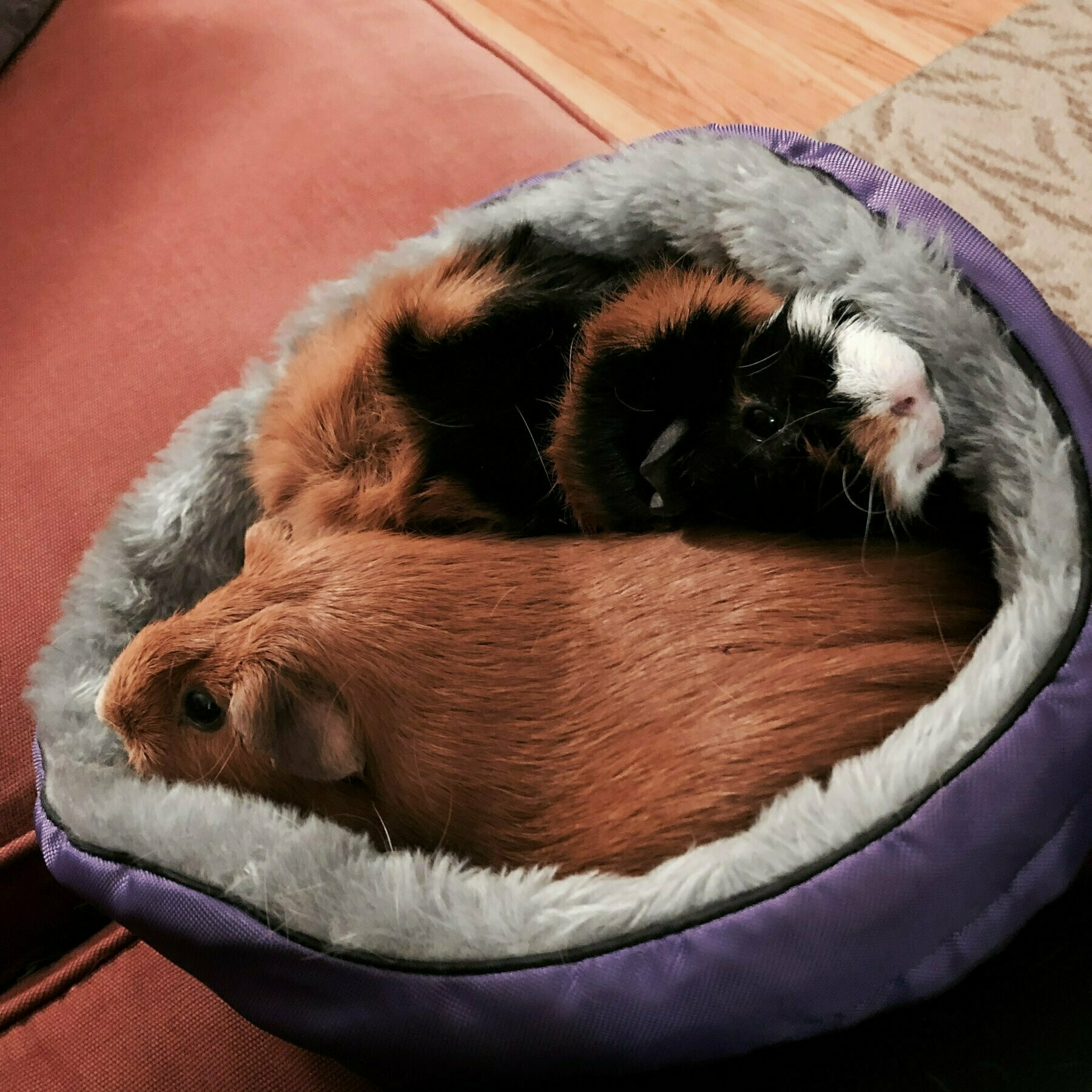 two guinea pigs in a plush bed that is meant for one.