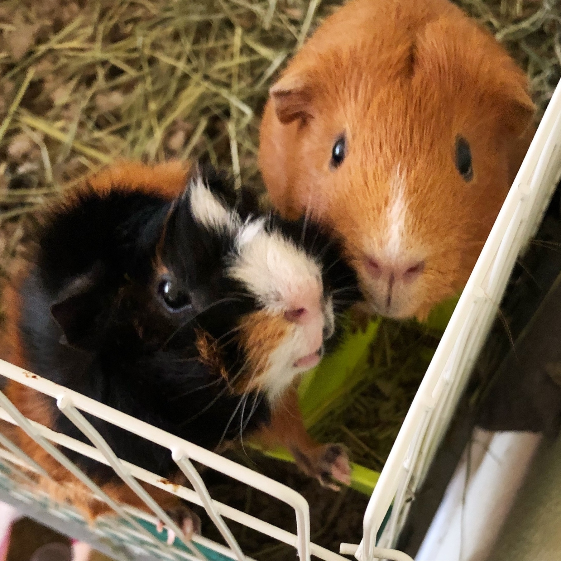 two hungry guinea pigs
