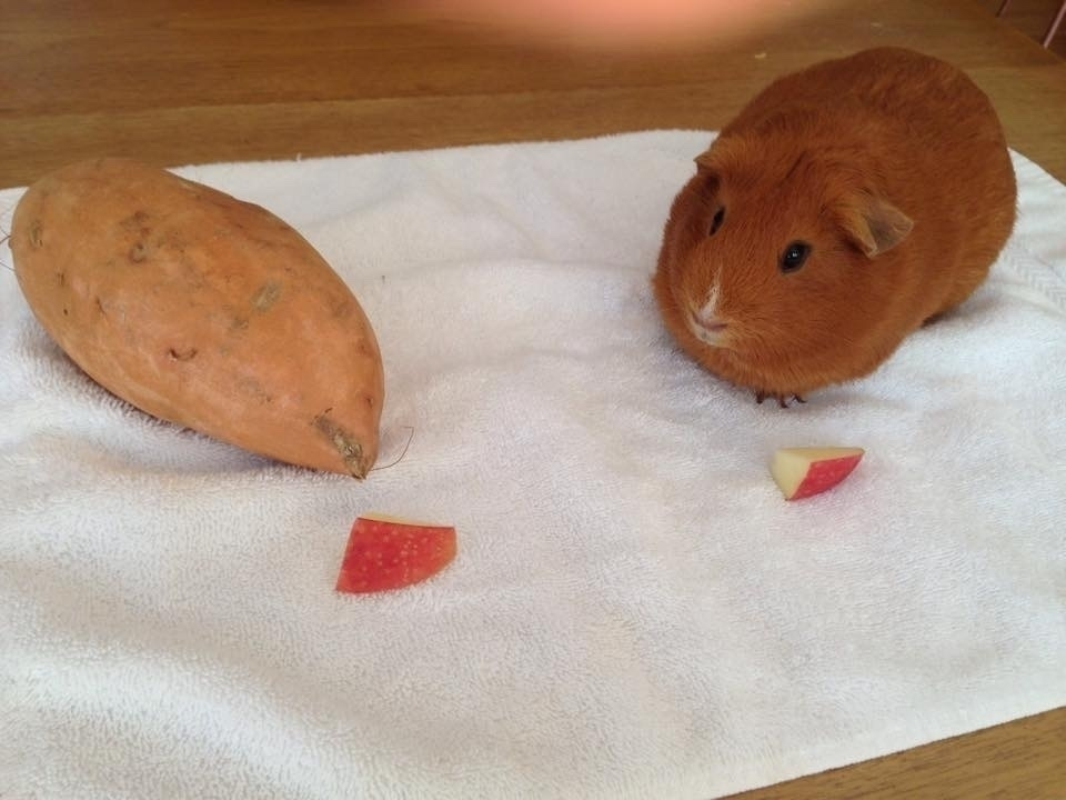 Sweet potato imitating a rotund orange guinea pig