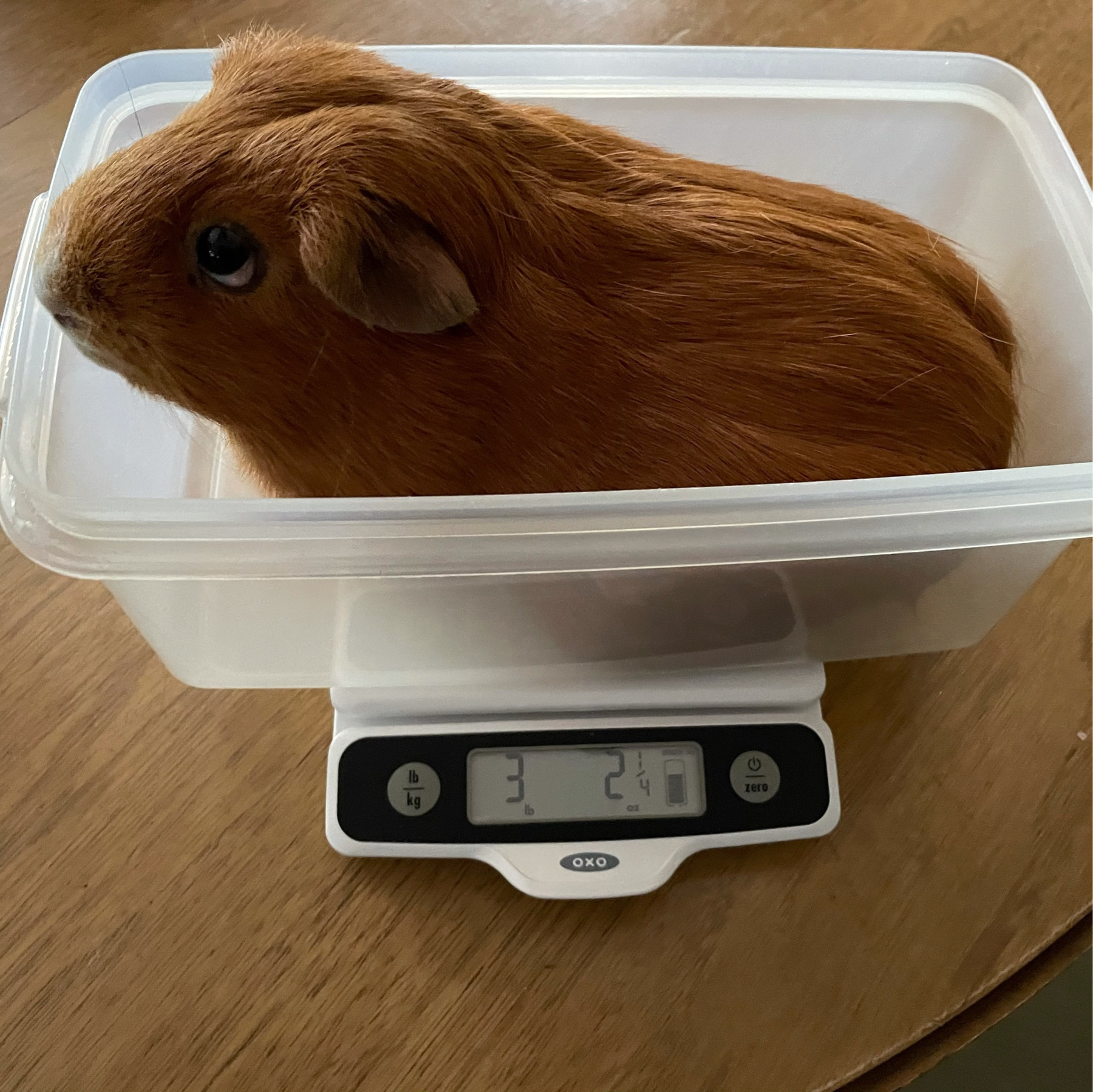 Large orange guinea pig on kitcen scale. No one likes being weighed.