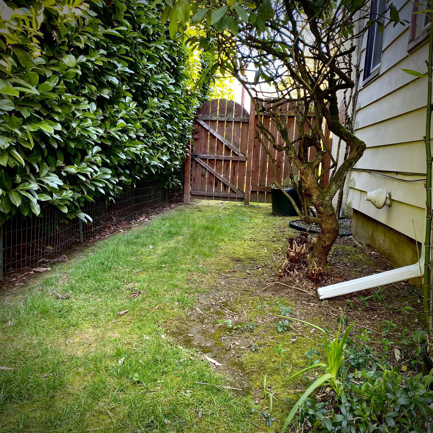 backyard hedge and gate, with invisible squirrels.