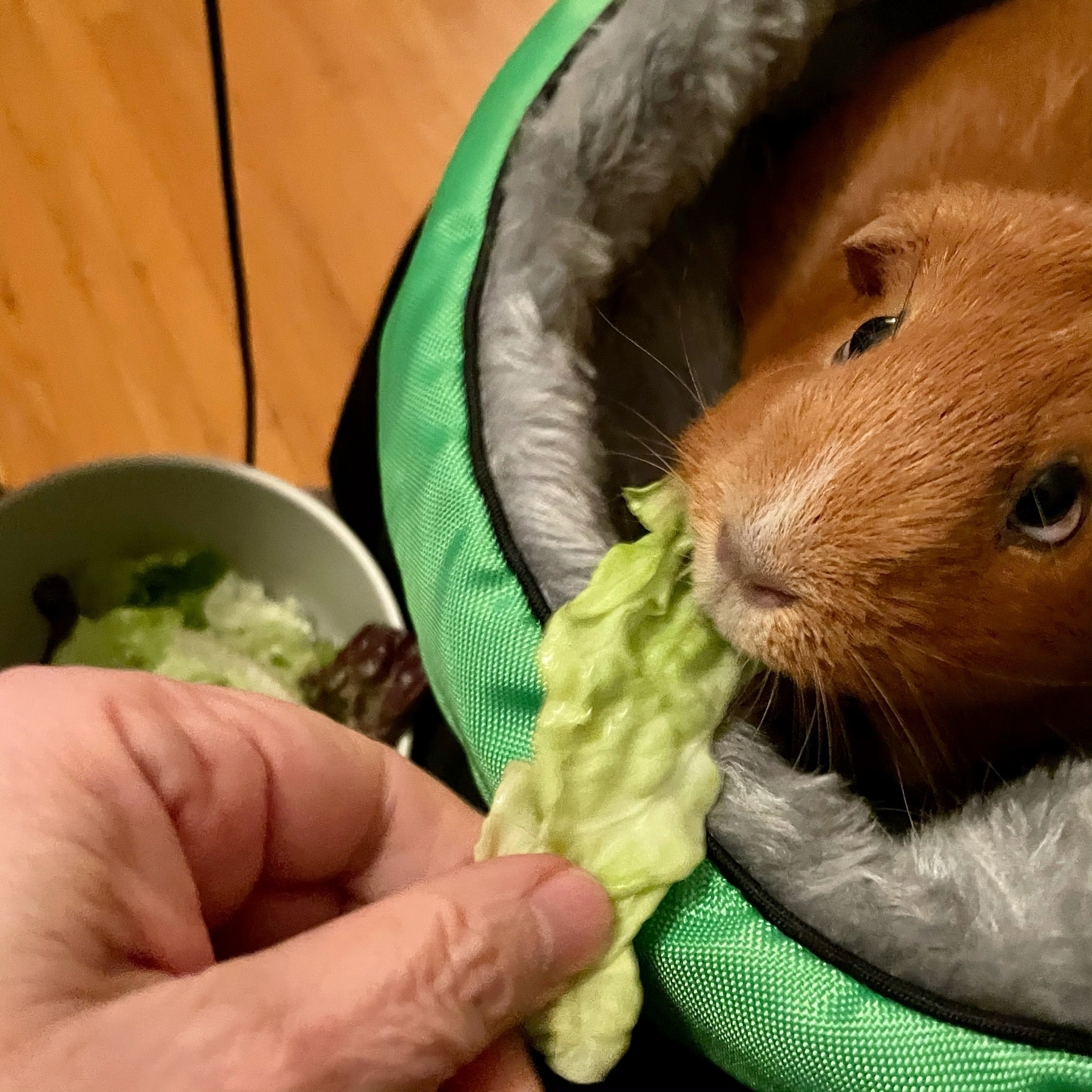 Guinea pig eating lettuce in a cuddle cup
