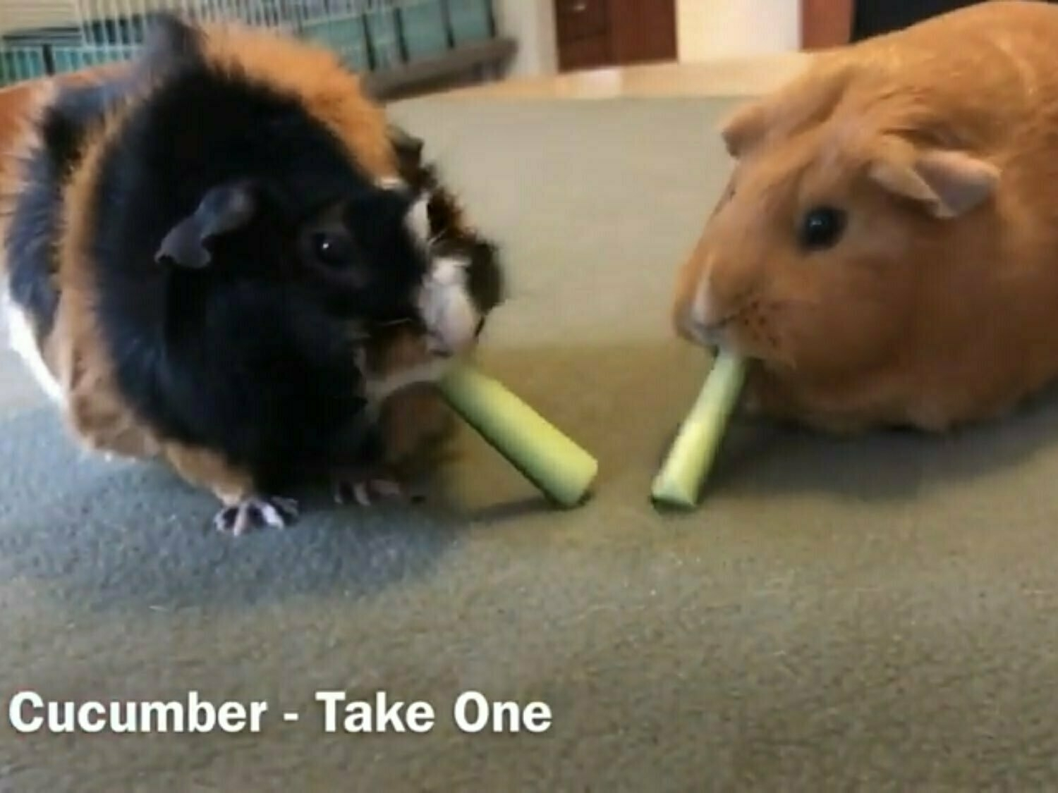 Two guinea pigs eating cucumber