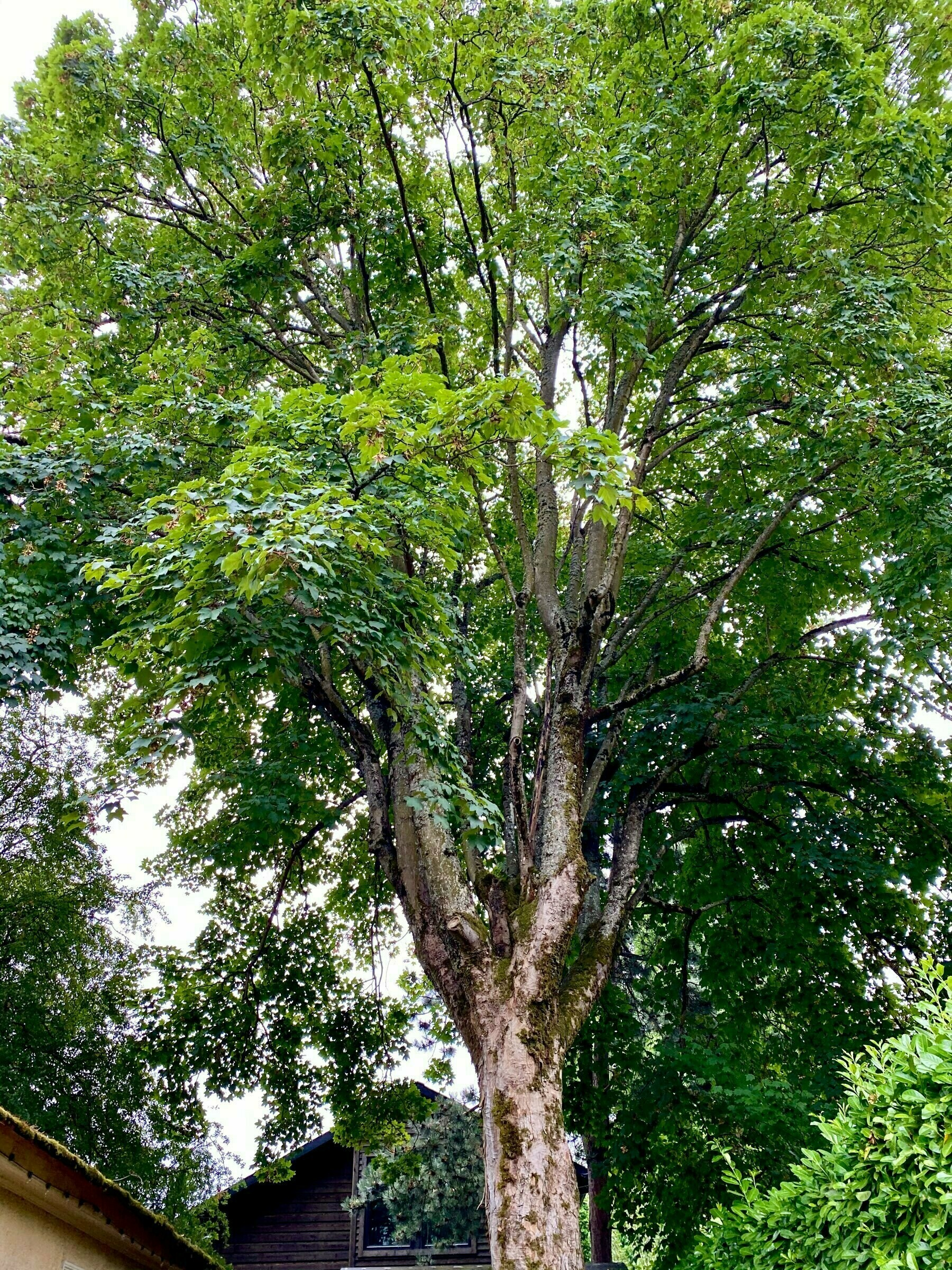 Large sycamore maple canopy fills the frame