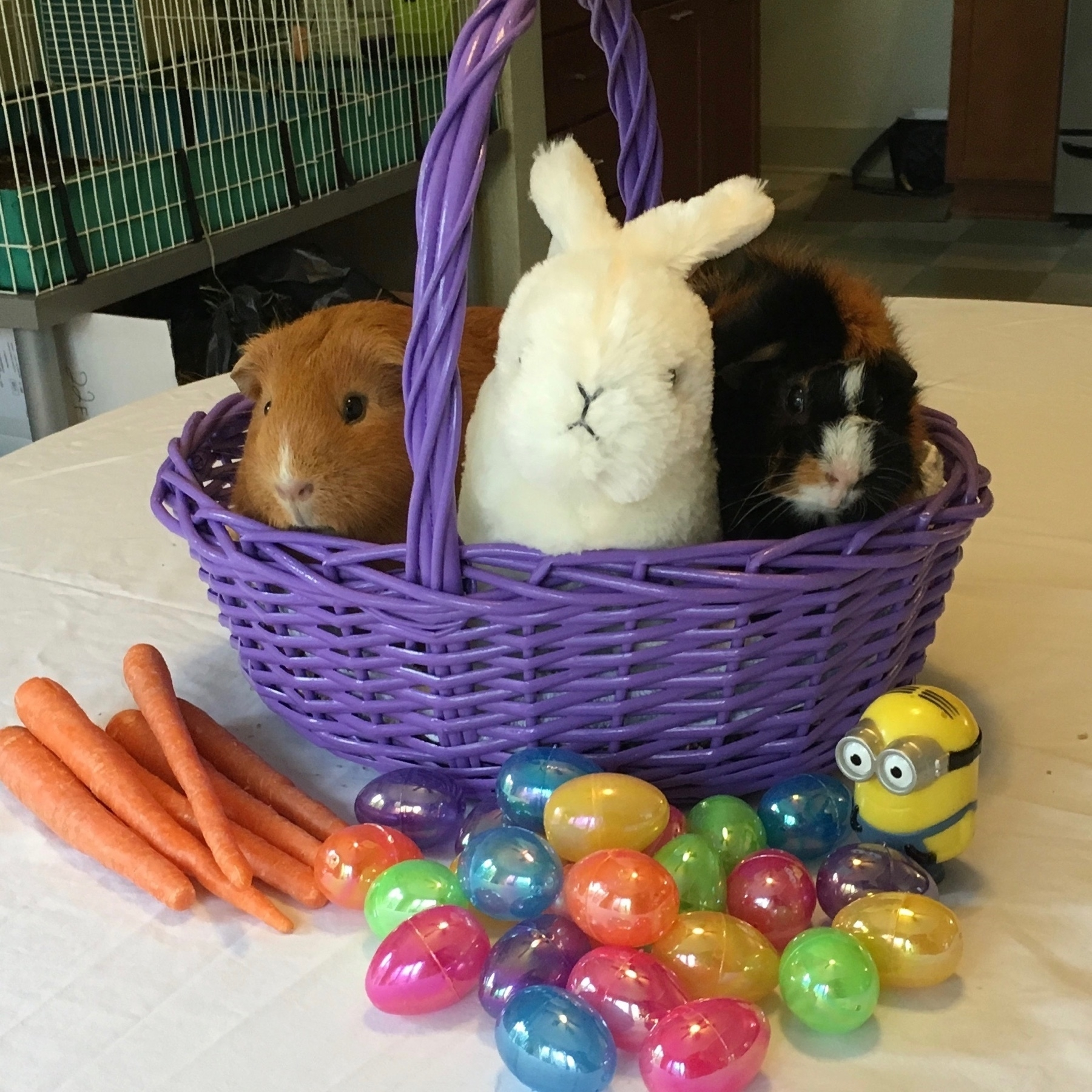 Two guinea pigs and a stuffed rabbit in a purple Easter basket, with carrots and plastic eggs.