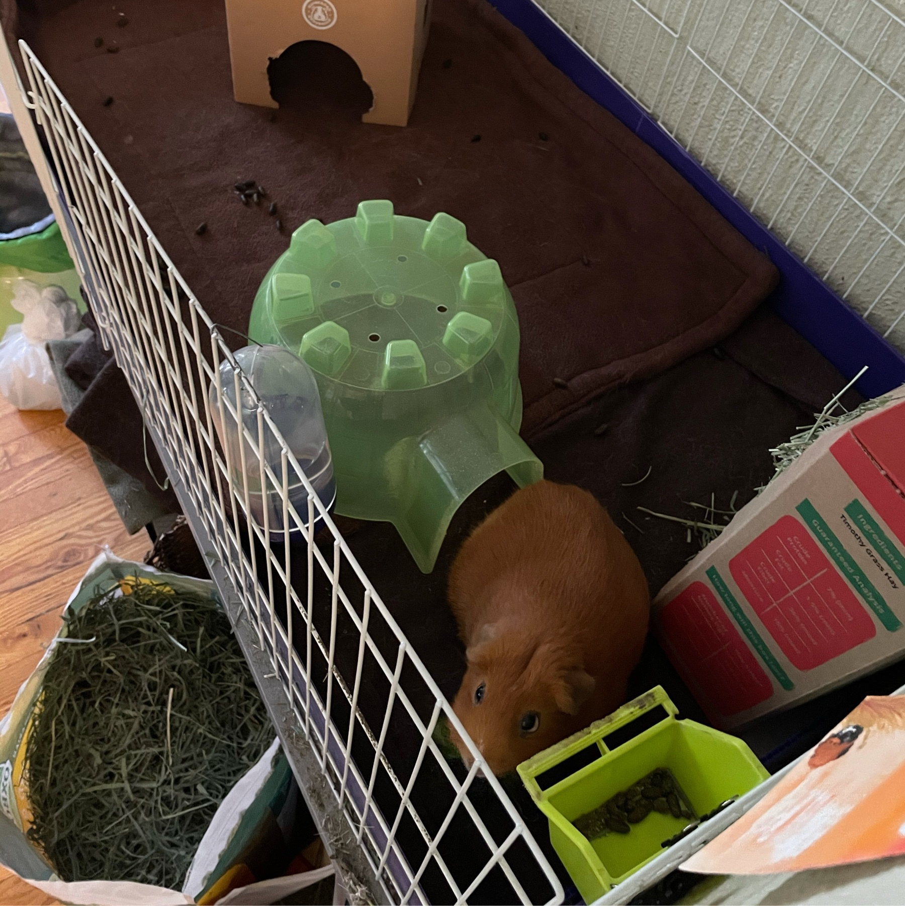 guinea pig with pigloo next to food bowl