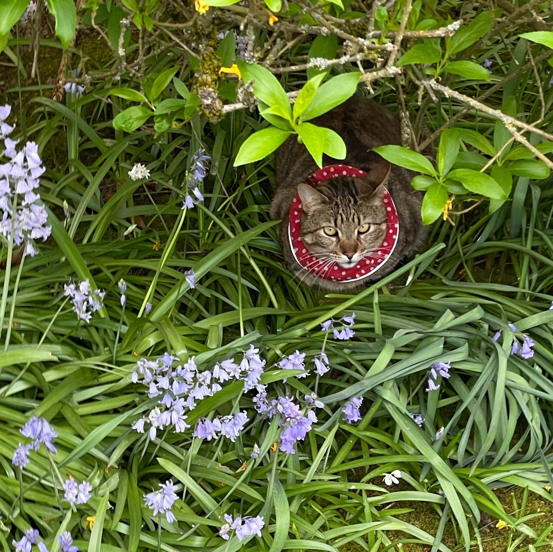 Striped cat peeking out from the foliage.