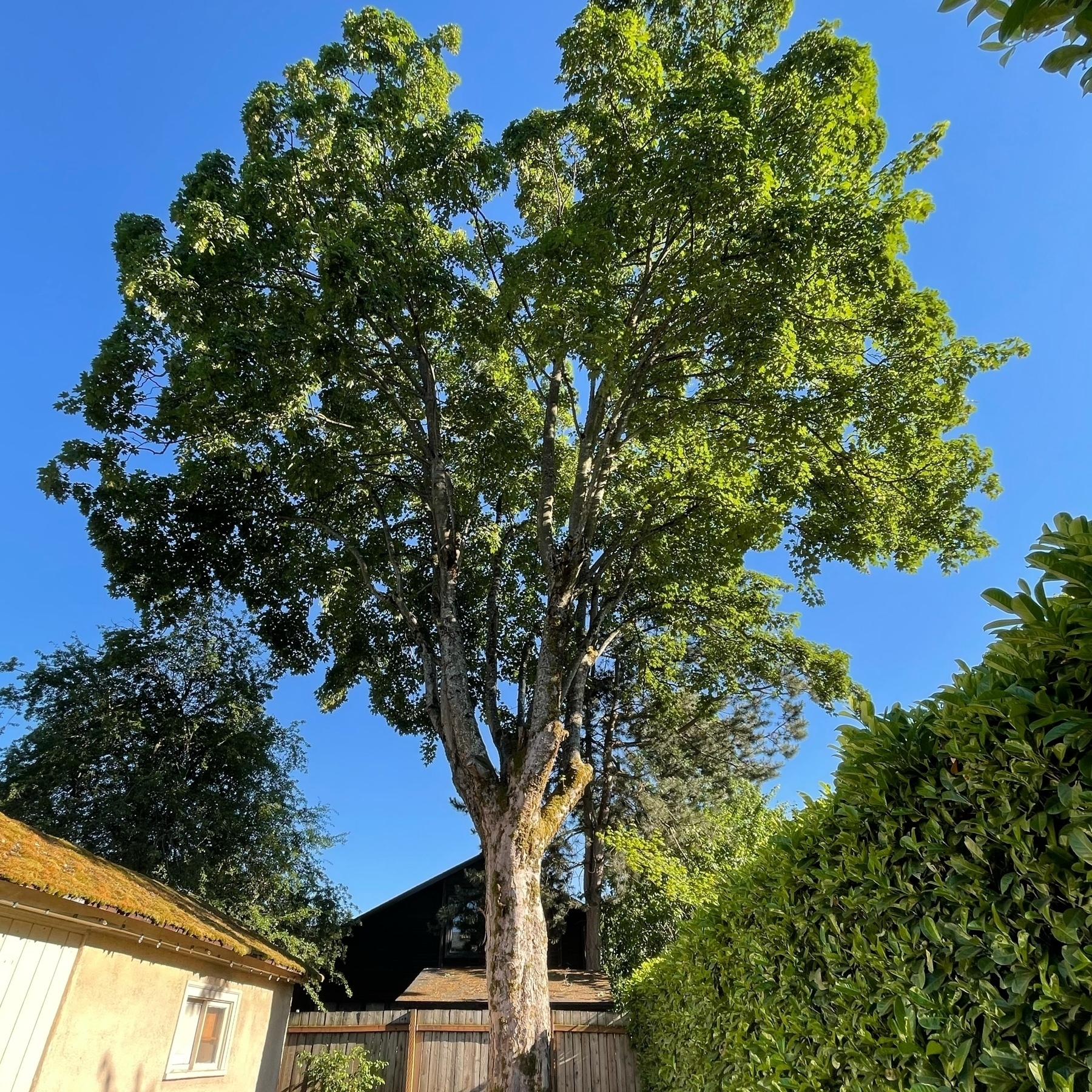 large maple sycamore in the backyard