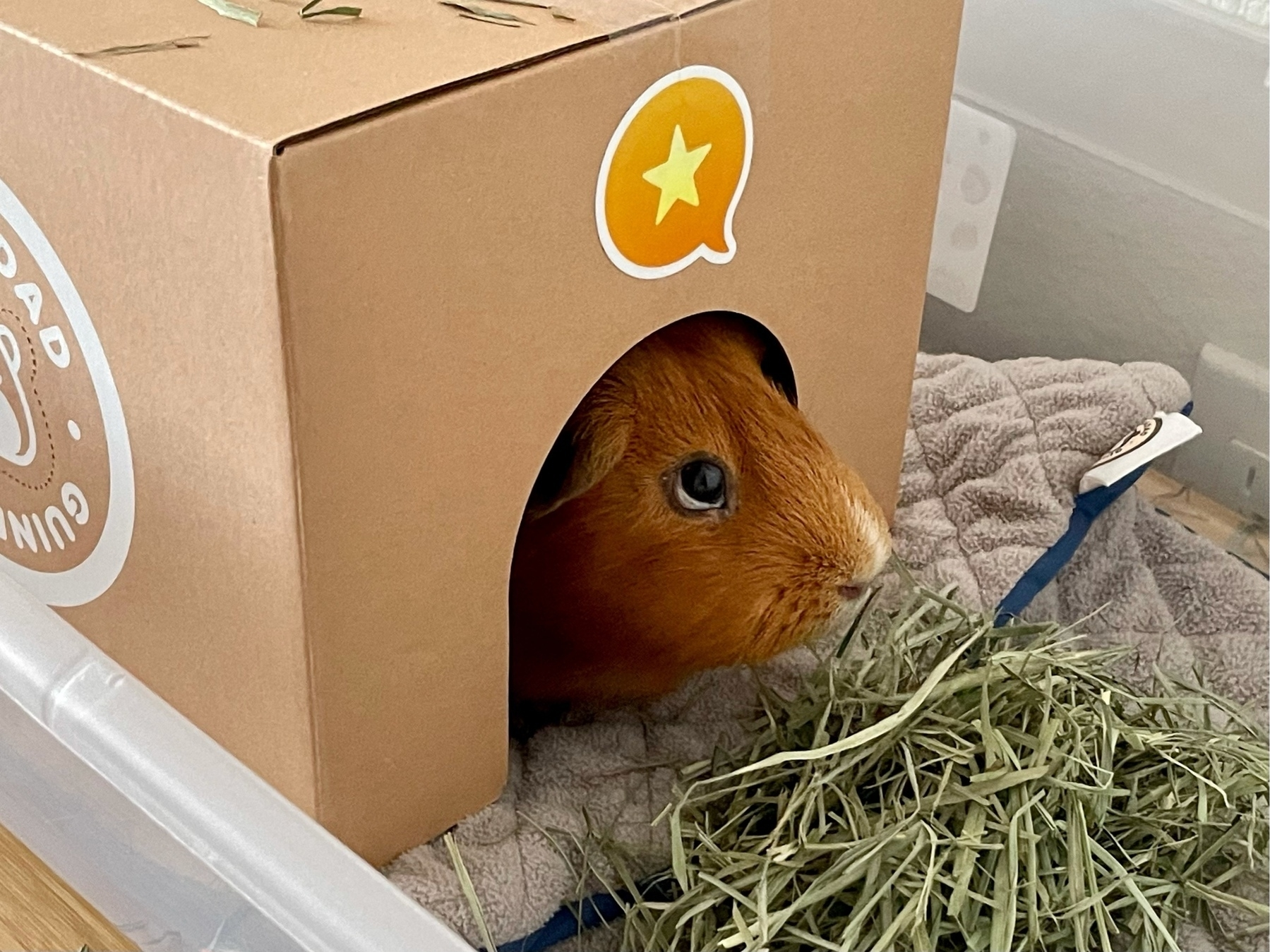 guinea pig in a cardboard hidey with Micro.blog sticker