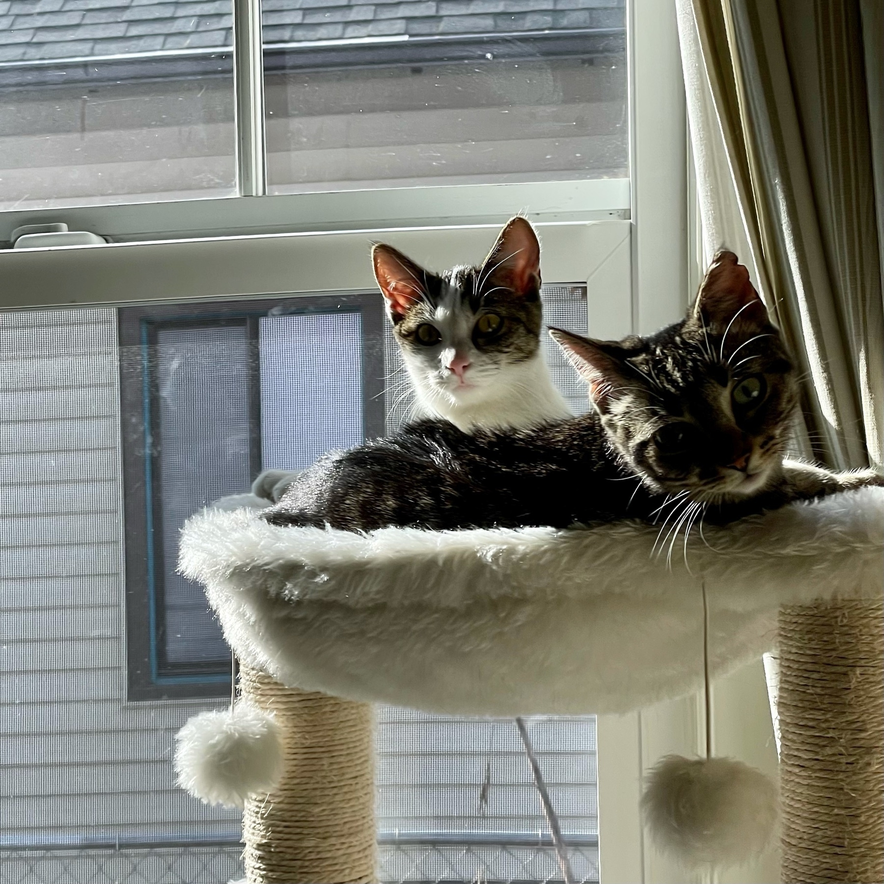 Two kitties on the cat perch in the sun.